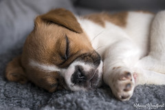 Puggle Puppy (rebeccawoodford) Tags: puggle puppy beagle pug beaglepugcross 6weeksold baby dog sleeping sleepy asleep macrolens nikonphotography petphotography petportrait slr dslr macro cute