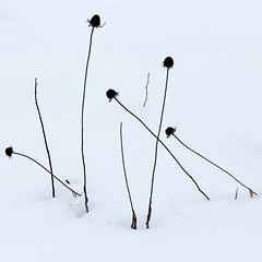 X marks the spot (cheryl.rose83) Tags: snow flower deadflower blackeyedsusan