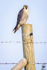 ''Peregrine Post'' (marcbryans) Tags: portlanddorset portlandbill peregrines raptors birdsofprey nikond7100 nikkor200500mmf56e