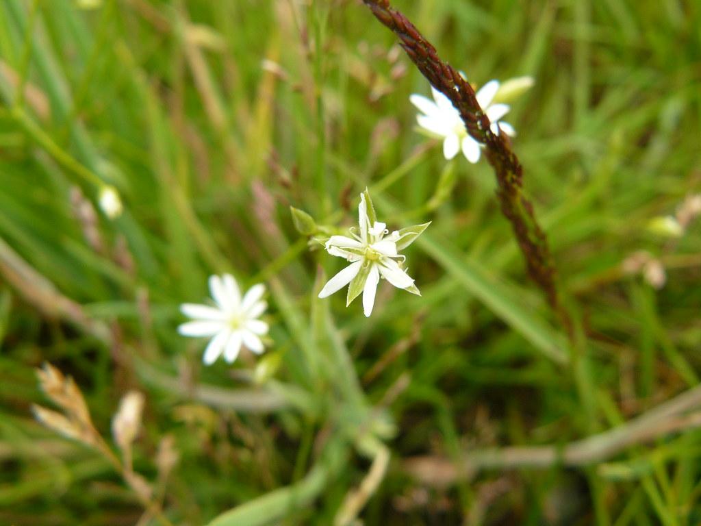 Stellaria graminea-2