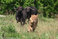 Seemed like a good idea at the time! (Donna Hampshire) Tags: buffalo lion hunt capebuffalo synceruscaffer pantheraleo donnarobinson donnahampshire inspiremephotographycouk okavangodelta okavangowildlife canon7dii botswana bigcats behaviour