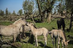 Hi Mom ....... uh ........ Dad (.MARTINE.) Tags: horses holland love nature netherlands mom dad natuur fotosafari liefde lelystad martine paarden foal oostvaardersplassen veulen staatsbosbeheer konikpaarden nikkor2470mm nikond800
