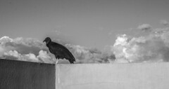 De visita (red_molina) Tags: white black bird caracas vulture zamuro