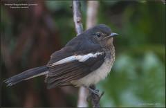 Oriental magpie-robin (Copsychus saularis) juvenile (ganesh_hegde) Tags: nature birds karnataka westernghats yellapur nikond90 nikkor70300mmvr