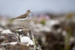 Common sandpiper (amylewis.lincs) Tags: uk bird nature animal scotland nikon britain wildlife sigma british muck d3 2015 actitishypoleucos smallisles 150500mm