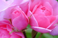 The beauty of roses. a17 (George Ino) Tags: roses copyright flower holland macro rose flora utrecht nederland thenetherlands roos depthoffield makro fiore lente rozen bloem rosaceae dofbokeh georgeino georgeinohotmailcom voorjaarspringfrhjahrprintempsprimavera natuurnaturenatur naturnaturenatuur