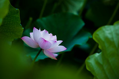 _MG_1364 () Tags: morning pink flowers summer white plant canon photography is lotus bokeh taiwan farmland ii  dslr  ef   70200mm      nelumbonaceae formosan   f28l usm field    canon5d2 depth  water