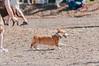 Corgi-2015_DSC24740002.jpg (orig_lowolf) Tags: usa dog oregon corgi nikon flickr dogpark lakeoswego d300s sigmaaf150500mmf563apodgoshsm