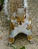 You lookin' at me...you lookin' at me? (  à la  Robert De Niro) (MickyFlick) Tags: lookin squirrel scottish attitude toughguy greysquirrel robertdeniro youlookinatme inthemannerof àla