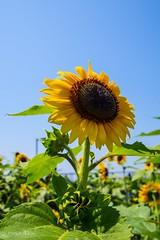 2015 Sunflower #2 (Yorkey&Rin) Tags: summer japan july bluesky olympus sunflower 夏 kanagawa rin fujisawa 2015 ひまわり あ 片瀬海岸 em5 7月 katasebeach seacandle lumixg20f17 pc236668