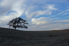 One (nedlugr) Tags: california ca sky clouds one hills lonely oaktree lonetree santaynezvalley omot