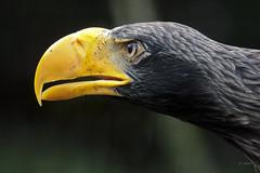 Stellers Sea Eagle (K.Verhulst) Tags: stellersseaeagle stellerszeearend zeearend seaeagle eagle arend vogels vogel birds bird blijdorp blijdorpzoo diergaardeblijdorp rotterdam