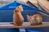 la coppia (mat56.) Tags: gatti gatto cats cat due two animali coppia couple barca boat blu blue puertosardina grancanaria isole islands canarias canarie spagna espana antonio romei mat56 animals felini ritratto portrait