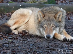 Romulus the Wolf at Paradise Wildlife Park having a snooze 💤 (Tønî) Tags: wolfasleep tired asleep sleepy adorable cute sleepingwolf sleeping zoos wildanimals wildanimal animals animal canines canine paradisewildlifepark zoo wolves wolf