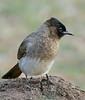 Dark-capped Bulbul (Pycnonotus tricolor) (berniedup) Tags: maphumulo hluhluwe hluhluweimfolozi darkcappedbulbul pycnonotustricolor bulbul taxonomy:binomial=pycnonotustricolor