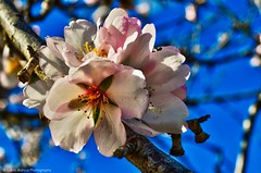 Almond Blossom (Costa Blanca Photography) Tags: almond almonds almendros tree blossom pink spain spanish jalon valley xalo