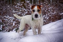 Anton (Oliver Kuehne) Tags: anton dog hund chien winter hiver bayern bavaria germany jackrussellterrier sonyrx100mk2 snow schnee wald