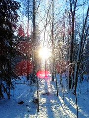 Winter Forest Stockholm (Sue Wellington: photography) Tags: stockholm light sunlight forest trees birch pine larch conifers winter seasons sun sweden northern nature