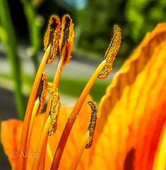 Flower, Tiger lily, reminder of summer DSC02826 Lis tigré, rappel d'été (Nicole Nicky (mostly off, temporarily)) Tags: listigré tigerlily fleur flower summer été yellow jaune orange depthoffield plant colorful outdoor dehors closeup macro bright coloré brillant