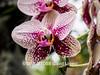 Duke Farms orchids-4142057-2 (myobb (David Lopes)) Tags: dukefarms hillsborough nj newjersey flower nature orchids olympus em1 omd