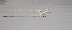 Mute Swan Landing 1_22 (krisinct- Thanks for 15 Million views!) Tags: nikon d4 500 f4 vrg