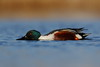 Northern shoveler (Brett NJ) Tags: duck shoveller newjersey wildlife bird waterfowl ty neat capt
