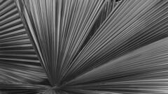 Palm tree leaves (Tim Ravenscroft) Tags: palm tree leaves monochrome blackandwhite selby gardens sarasota florida usa