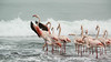 Greater Flamingo_DS_2715.jpg (DSNam) Tags: flamingo namibia atlantic