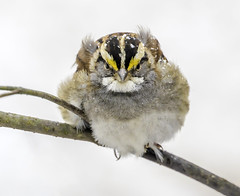 Angry Bird (crabsandbeer (Kevin Moore)) Tags: winter birds marshypoint nature snow wildlife angrybirds whitethroatedsparrow sparrow cold angry freezing feathers fluffy branch maryland
