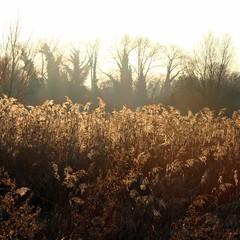 Backlit reeds (ermintrude75) Tags: marstonmarsh frost winter cold reeds backlit sun light bright