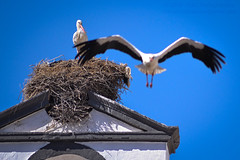 Dont come home late, honey! (Read Description plz) (Mark Photography 2017) Tags: action activity angle animal animalia architectural architecture area background beast bell bird blue blurred bottom building church ciconia ciconiiformes composition couple crafts detail element environmental exterior facility feather flight floor flying focus format framing genre horizontal landscape level life light lighting live motion natural nest orientation outdoor partner photo photography place relationship religious setting site sky skyline stork storks structure style time tower travel urban view weather white wild wildlife worldartscraftsphotographysettingskylineexterioroutdooractionactivityflyingflightphotogenrestyletypetravelurbanwildlifeorientationlandscapemotionblurredlightingnaturallightframingcompositionenvironmentaldetailformathorizonta