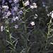 Hackelia mundula - Boraginaceae