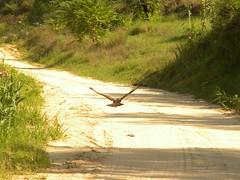 Falco in volo (giuseppespanò) Tags: animali paesaggi nature landscape planare rapaci uccelli natura italy italia falco falcon