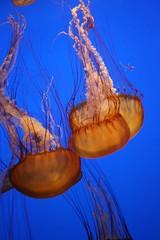 IMG_6238 (caffeina) Tags: blue aquarium jellyfish etc