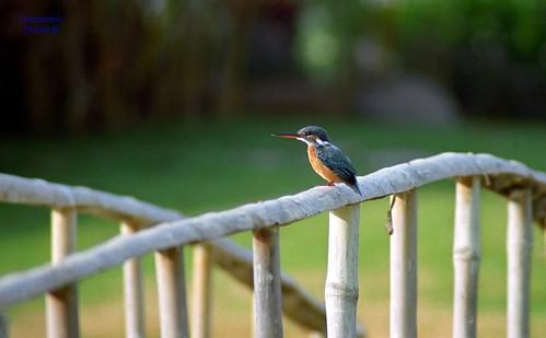 1FWTC-Kingfisher