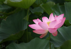 Glowing Lotus (` Toshio ') Tags: flowers flower topv111 tag3 taggedout dc washington topv333 tag2 tag1 lotus blossom topc aquatic 1on1 toshio lotusblossom topvaa