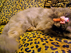 poodle (Pink Sushi) Tags: cat sleep hellokitty fluffy lazy leopard snooze glitzou lionhaircut