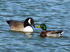 Sharing trade secrets (FlowrBx) Tags: blue tag3 taggedout d50 wonder ilovenature nikon tag2 tag1 goose canadagoose mallardduck flowrbx oaklake 7march2006