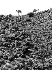 Two camels at the top of a rocky slope, Djibouti (Eric Lafforgue) Tags: voyage africa travel tribo afrique hornofafrica afar thiopien djibouti etiopia dschibuti ethiopie etiopa issas somalie lafforgue  cornedafrique etiopija   ethiopi  ericlafforgue gibuti lafforguemaccom etiopien etipia mytripsmypics  etiyopya   yibuti cibuti   dibuti dibutsko gibuti