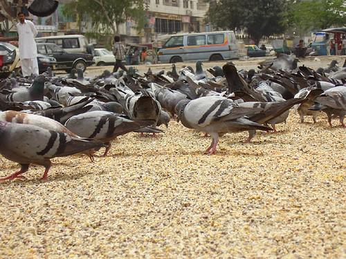 112010348 021886ce94?v0 - ... Pigeons ...