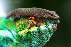 Chameleon encounter (Michael Poliza) Tags: green nature colorful wildlife chameleon piggyback
