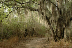 Spanish Moss on Pintail Lake Trail C (Jim Frazier) Tags: park travel trees vacation plants plant tree travelling green nature leaves forest woodland landscape march leaf top20np moss woods flora scenery texas calendar natural v100 path trails 2006 f10 trail spanish spanishmoss sacred paths f3 santaana alamo preserve f5 naturepreserve nationalwildliferefuge nominee nwr v200 f20 gardenblog v500 q5 v1000 seminartrip v5000 v35 santaananationalwildliferefuge v2000 interestingness451 explored 2007calendar cal2007 printportfolio 08august printed11x14 jimfraziercom jfpblog wmembed