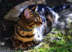 Sunbathing in the Shade (Zulpha) Tags: uk shadow wild portrait white black color colour green eye nature girl beautiful face look lady youth digital cat canon mouth outdoors nose happy one interestingness cool bush eyes sand warm alone looking gorgeous young naturallight explore ear stare lula top20catpix awake lovely flikr canond30 canoneosd30 mireasrealm interestingness203 i500 zulpha explore19march06