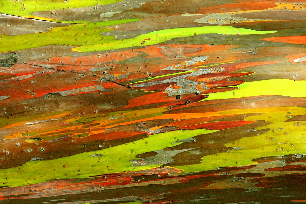 Rainbow Eucalyptus colorful bark