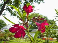 DSC01286 (finofoti) Tags: oleander