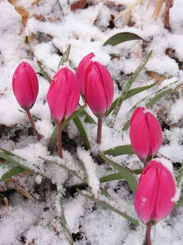 "fuchsia tulips in the snow • <a style=""font-size:0.8em;"" href=""http://www.flickr.com/photos/10528393@N00/116483000/"" target=""_blank"">View on Flickr</a>"