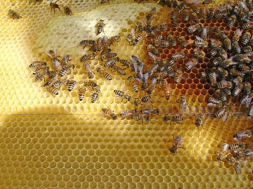 Bees in hive, por net_efekt, CC