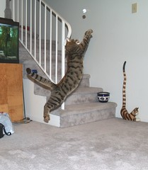 Spring loaded (Midnite55) Tags: pet cat spring jumping feline action tabby catch