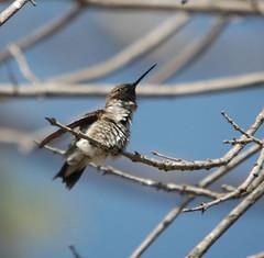 bird texas hummingbird tx blackchinned delrio valverdecounty