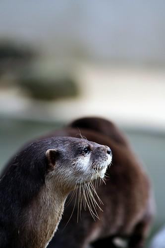 Otter profile